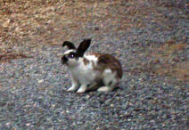 campground_bunny